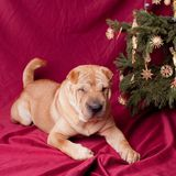 Christmas sharpei dog Royalty Free Stock Photography
