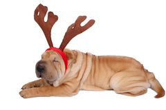 Christmas sharpei dog. A christmas sharpei dog wearing antler Royalty Free Stock Photography