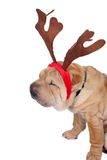 Christmas sharpei dog. A Christmas sharpei dog wearing horn Stock Images