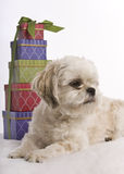 Christmas Shih Tzu puppy Royalty Free Stock Photo