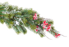 Christmas snow fir tree branch with holly berry Royalty Free Stock Photo