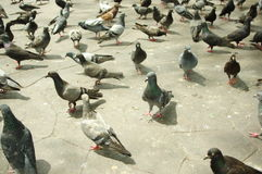 Birds gathered around the floor of the temple Royalty Free Stock Photo