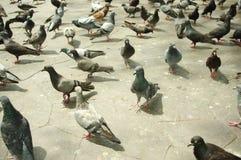 Pigeon gathered around Grand Palace Thailand Bangkok Royalty Free Stock Photo
