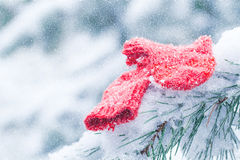 Christmas socks lying on the pine tree frosty in the snow. Stock Photo
