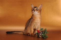 Christmas somali kitten. Somali kitten ruddy color with Christmas entourage Royalty Free Stock Images