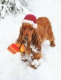 Christmas Spaniel in Snow bearing Gifts. Santas little helper makes a festive delivery in the snow Royalty Free Stock Images