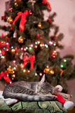 Christmas spirit. Cat sleeping near to Christmas tree stock image
