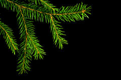 Christmas  spruce branch Stock Photography