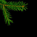 Christmas  spruce branch Stock Image
