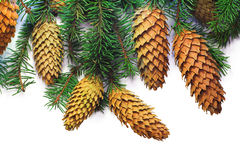 Christmas spruce twigs and cones on white stock images