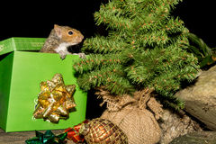 Christmas Squirrel Stock Photography
