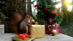 Christmas squirrel. Squirrel eats from the box between Christmas decorations