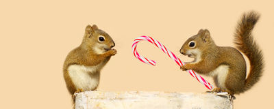 Christmas squirrels. Royalty Free Stock Images