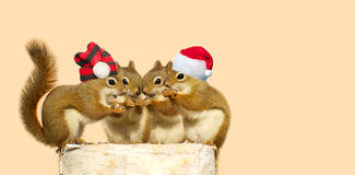 Christmas squirrels. Cute image of four adorable baby squirrels on a birch log sharing some sunflower seeds, the two boys wearing Christmas hats, with copy royalty free stock image