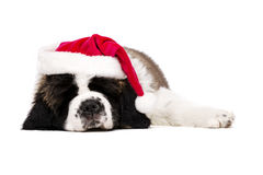 Christmas St Bernard puppy on white. St Bernard puppy asleep wearing a Christmas Santa hat isolated on a white background Stock Photo