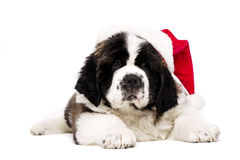 Christmas St Bernard puppy on white. St Bernard puppy wearing a Christmas Santa hat isolated on a white background Royalty Free Stock Photography