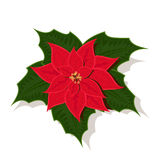 Christmas star. The image of poinsettia, differently a called Christmas star Royalty Free Stock Image