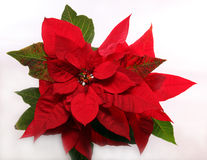 Christmas star. Big red flower christmas star Royalty Free Stock Photography