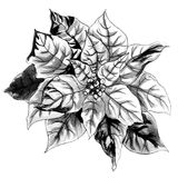 Christmas Star. Black and white monochrome flower Stock Image