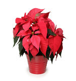 The Christmas Star Flower Stock Photography