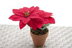 Christmas star the flower Royalty Free Stock Photo