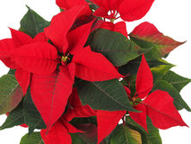 Christmas Star Flower, Poinsettia Stock Images