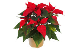Christmas Star Flower, Poinsettia Stock Image