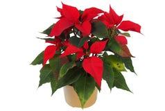 Christmas Star Flower, Poinsettia Stock Image
