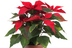 Christmas Star Flower, Poinsettia Royalty Free Stock Photos