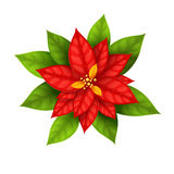 Christmas Star flower poinsettia isolated Stock Photo