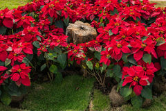 Christmas star the garden. Christmas star or Poinesettia in the garden Stock Photo