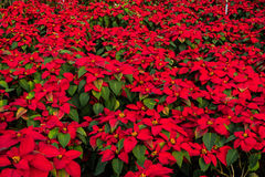 Christmas star in the garden. Christmas star or Poinesettia in the garden Stock Photography