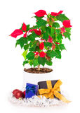 Christmas star gift box flowerpot Stock Photo