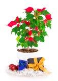 Christmas star gift box flowerpot Stock Photo