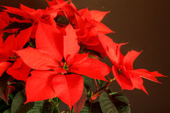 Christmas Star (plant). Picture of a Christmas Star (plant Stock Images