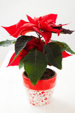 Christmas star poinsettia. In pot on white background Stock Image