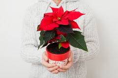 Christmas star poinsettia. Held in hands my male person Royalty Free Stock Photography