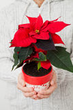 Christmas star poinsettia Royalty Free Stock Photos