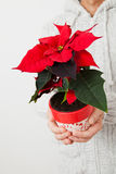 Christmas star poinsettia Stock Images