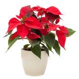 Christmas Star Poinsettia flower royalty free stock photo