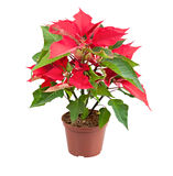 Christmas Star (Poinsettia) Royalty Free Stock Photos