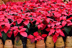 Christmas star, poinsettia , red flower Royalty Free Stock Photography