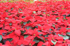 Christmas star or Poinsettia Royalty Free Stock Photos