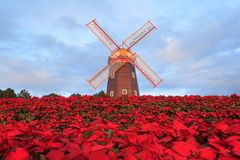 Christmas star or Poinsettia Royalty Free Stock Photo