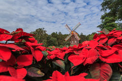 Christmas star or Poinsettia Stock Images