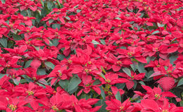 Christmas star. Red poinsettia garden in Thailand. christmas flower Stock Images
