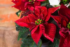 Christmas star red and white poinsettia flowers, Christmas background with copy space, free text. Christmas star red and white poinsettia flowers, colorful royalty free stock image