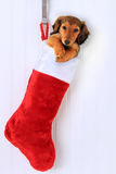 Christmas stocking puppy royalty free stock images