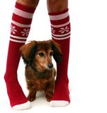 Christmas stockings and puppy. Longhair dachshund between a pair of legs in Christmas socks Stock Images