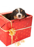Christmas surprise doggy Stock Photo